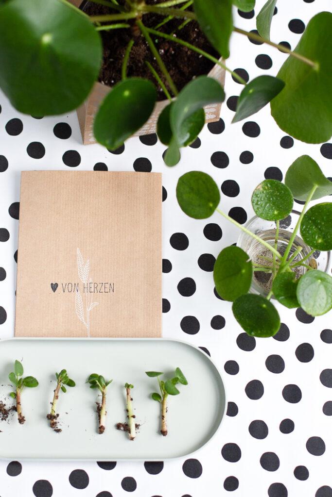 Pilea vermehren und pflegen – Pflanzenliebe