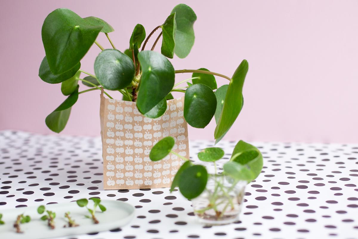 Pilea vermehren und pflegen - Pflanzenliebe