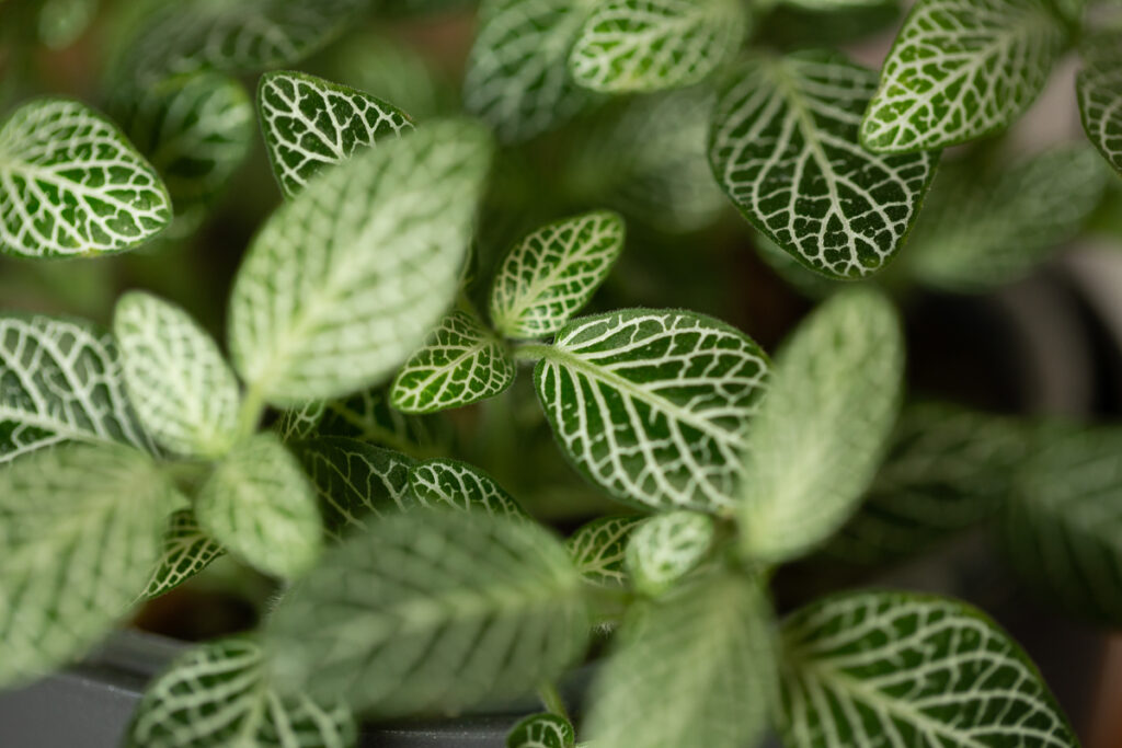 Fittonia albivensis - Mosaikpflanze
