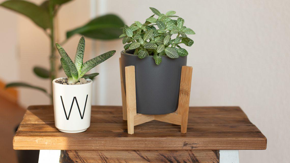 Fittonia albivensis – Mosaikpflanze