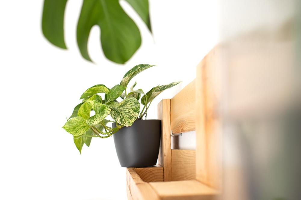 Efeutute vermehren und pflegen - DIY Urban Jungle